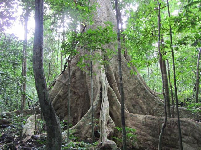 Cây Tung khổng lồ nổi tiếng ở Nam Cát Tiên – điểm du lịch Đà Lạt
