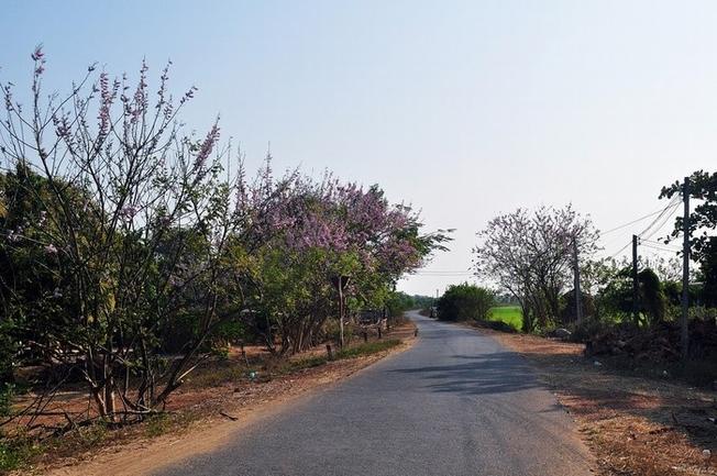 Hoa Đỗ Mai dọc trên đường đi Vũng Tàu