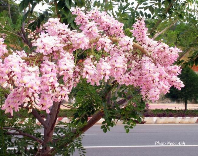 Vẻ đẹp thanh tú của hoa Đỗ Mai