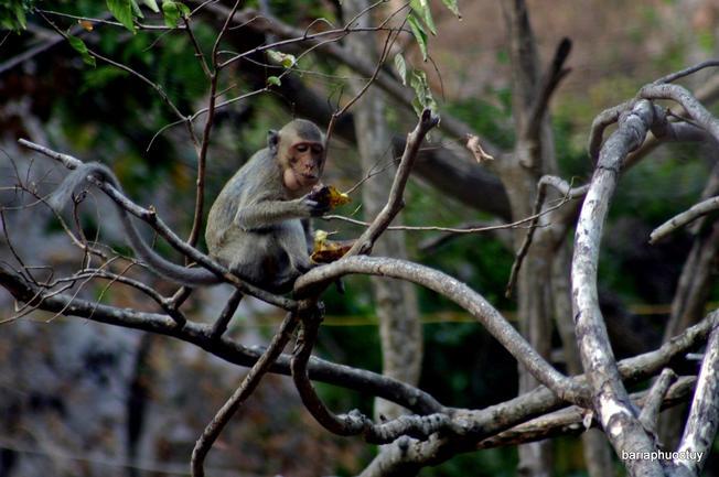 Những bầy khỉ xuống chùa kiếm ăn