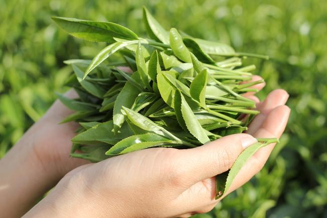 Những búp trà Ô Long xanh tươi