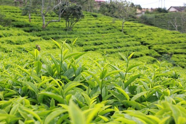 Những đồi trà xanh bát ngát trên vùng đất cao nguyên