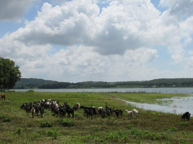 The herd of goats leisurely graze along the lake in a peaceful countryside afternoon