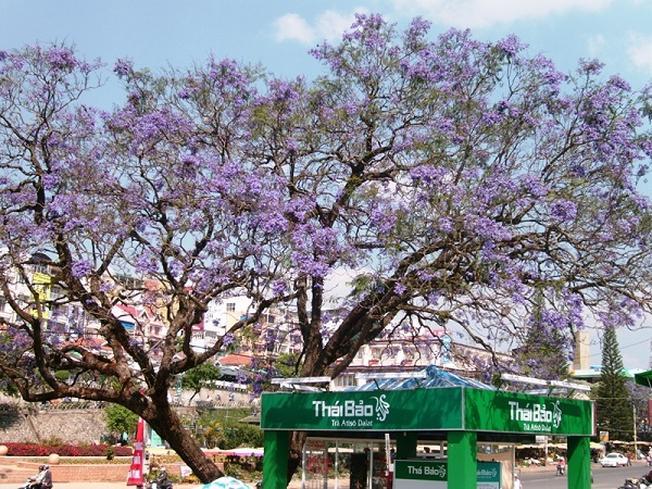 Những con phố ngập tràn sắc hoa phượng tím