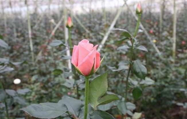 Những cánh đồng hoa hồng tuyệt sắc của làng hoa Vạn Thành