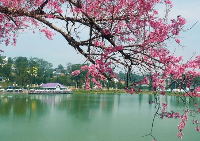 Mai anh đào soi bóng bên hồ Xuân Hương
