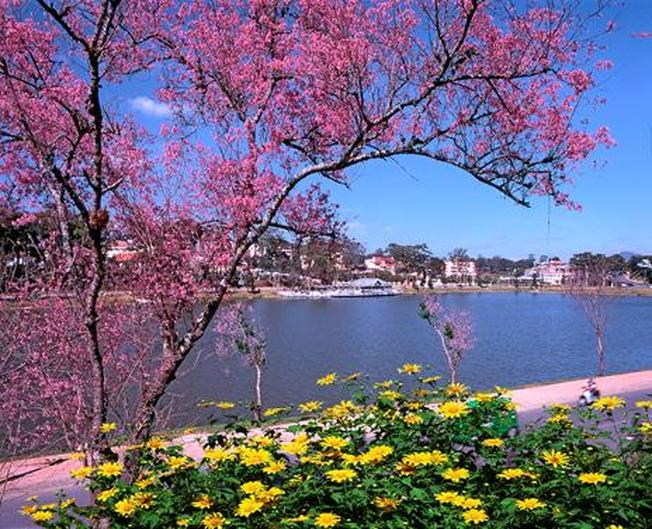 Ngắm Mai Anh Đào rực rỡ bên hồ địa điểm du lịch ở Đà Lạt
