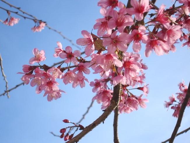 Cận cảnh hoa Mai Anh Đào với màu hồng quyến rũ