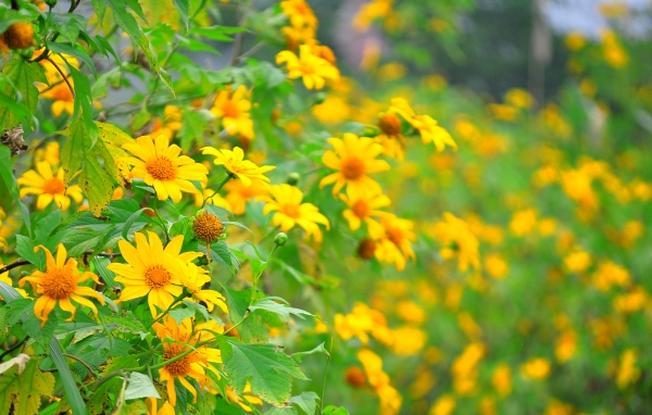 Dã quỳ cổ điển, Vườn hoa Đà Lạt đặc trưng