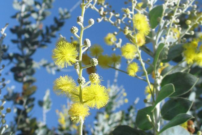 Mimosa vàng óng ả, kiên cường