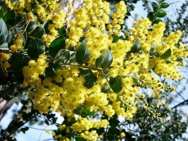 Vườn hoa Đà Lạt, vàng rực một góc trời