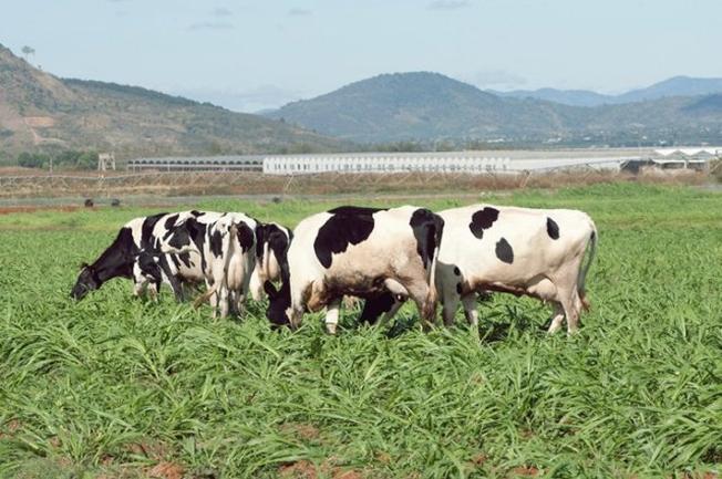 Từng đàn bò sữa thong dong gặm cỏ
