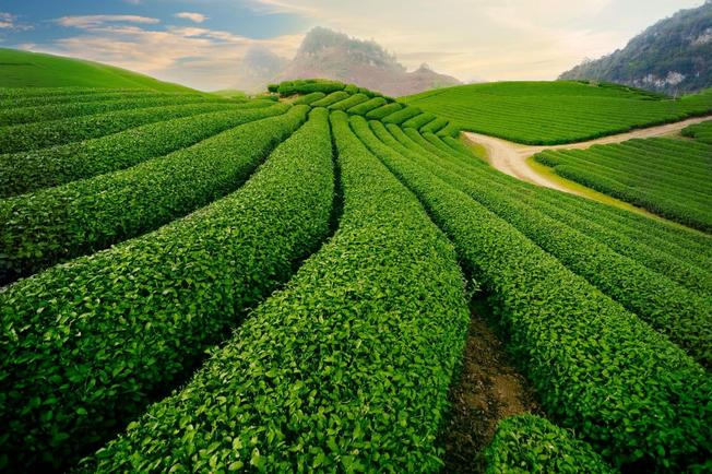 Kết quả hình ảnh cho Nông trường trà Ô long đài loan