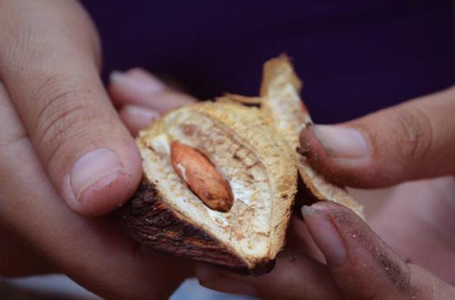 Muốn có được món mứt hạt bàng thì công đoạn lâu nhất chính là tách vỏ để lấy nhân hạt bàng