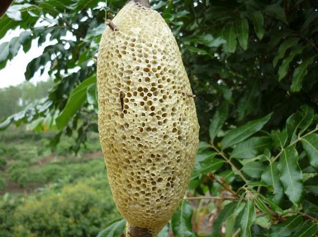 Mật ong rừng Đà Lạt món quà ý nghĩa thiên nhiên ban tặng cho Đà Lạt