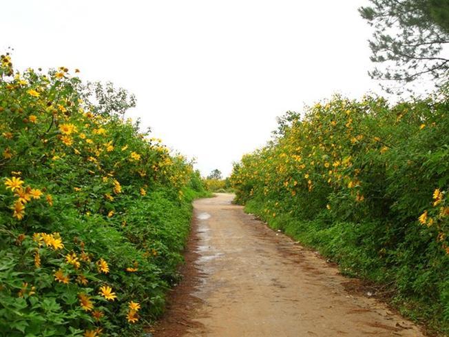 Hai bên đường trải dài sắc vàng rực rỡ của hoa dã quỳ