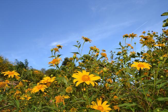 Những bông dã quỳ càng thêm rực rỡ khi được mặt trời chiếu sáng