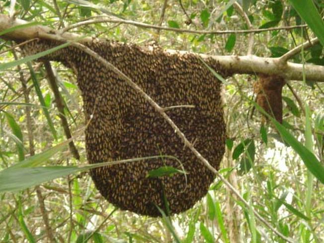 Ong Khoái thường làm tổ trên cành cây ở các vùng núi đá cao