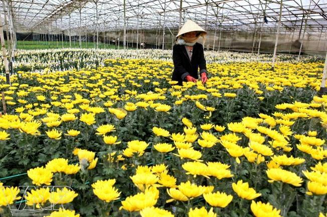 Vườn cúc vàng rực rỡ tại làng hoa Thái Phiên