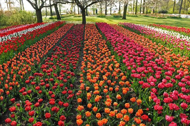 Những bông hoa rực rỡ khoe sắc tại làng hoa Hà Đông