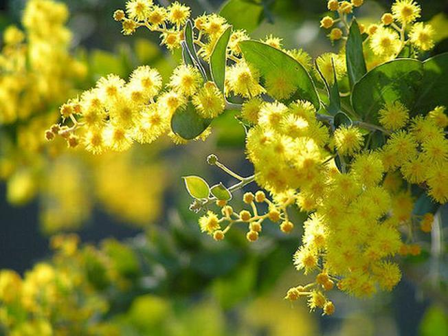 Hoa mimosa đài các, vàng óc phủ kín các triền đồi