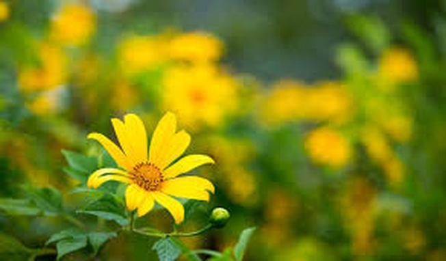 Điểm du lịch Đà Lạt ngây ngất sắc vàng hoa dã quỳ
