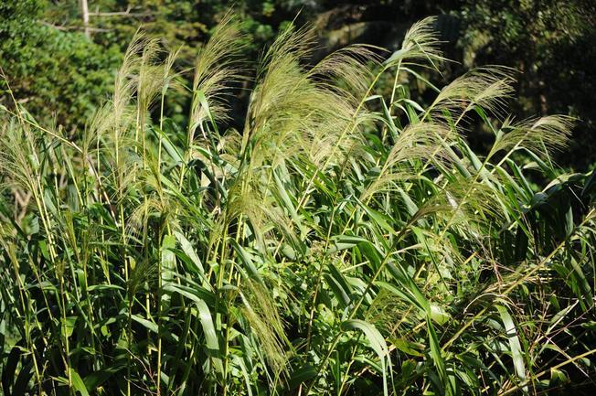 Cây cỏ chít