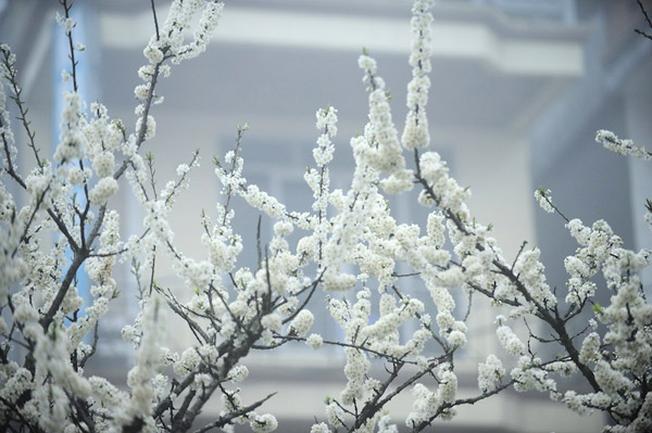 Những cành hoa mận trắng muốt