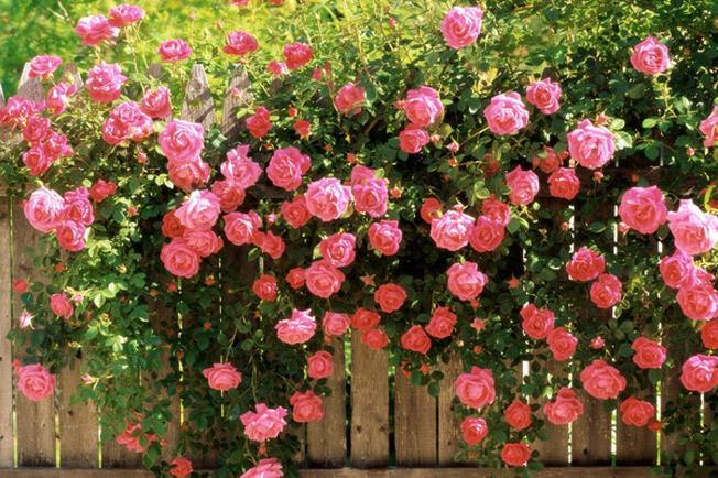 Nét độc đáo của Sa Pa Hoa hồng leo