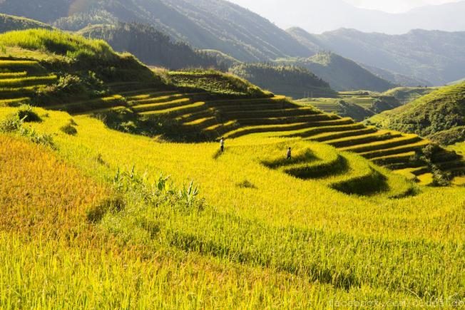 Những thửa ruộng bậc thang vàng rực mùa lúa chín