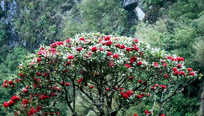 Hoa đỗ quyên rừng khoe sắc trong nắng mai