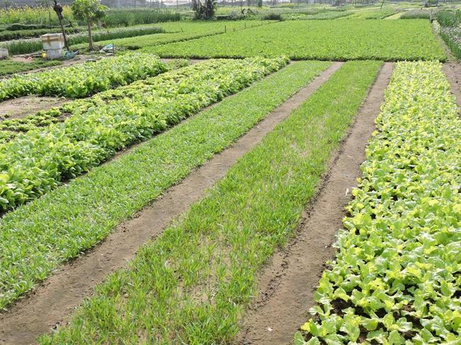 Ruộng rau của làng Trà Quế - Làng rau Trà Quế - điểm đến thú vị trong chuyến du lịch Hội An