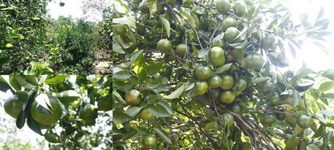 Vườn trái cây Nam Bộ giữa lòng miền Trung