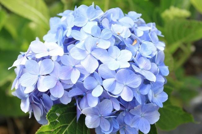 Hoa Cẩm Tú Cầu tượng trưng cho tình yêu trong sáng