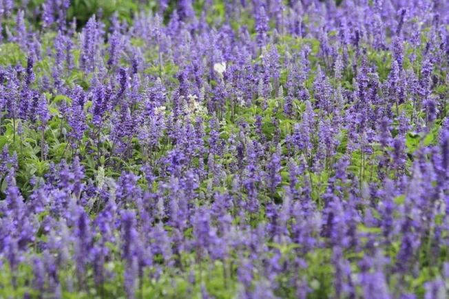 Lavender biểu trưng cho sự may mắn