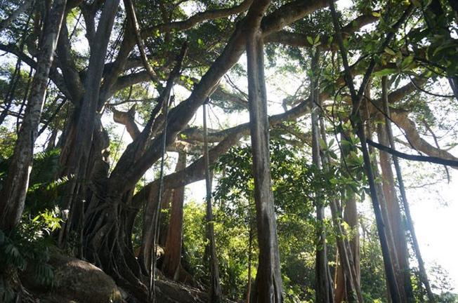 Cây đa ngàn tuổi – di sản của Đà Nẵng