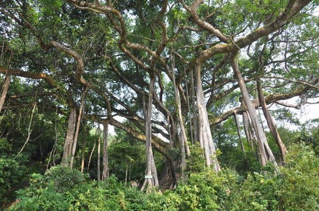 Cây đa ngàn năm tuổi tại Sơn Trà – cây di sản của Việt Nam