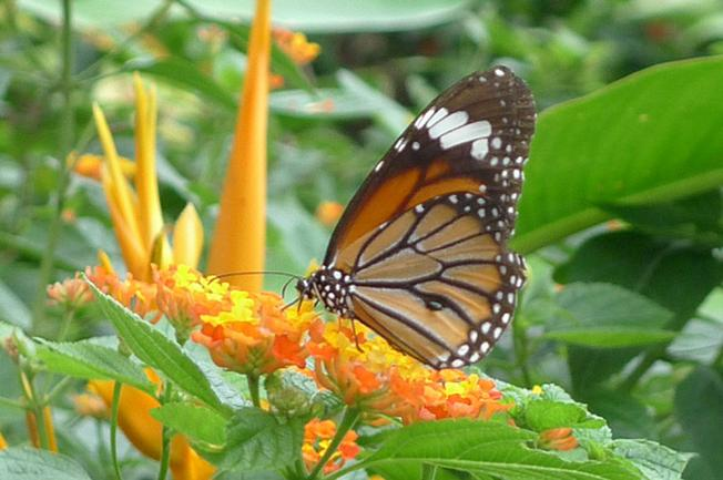 Cánh bướm mỏng manh khoe sắc bên những cành hoa rực rỡ