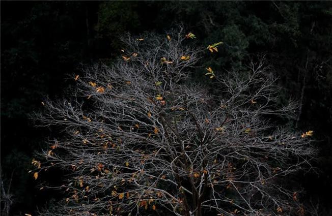 Những chiếc lá vàng cuối cùng còn nán lại trên cây