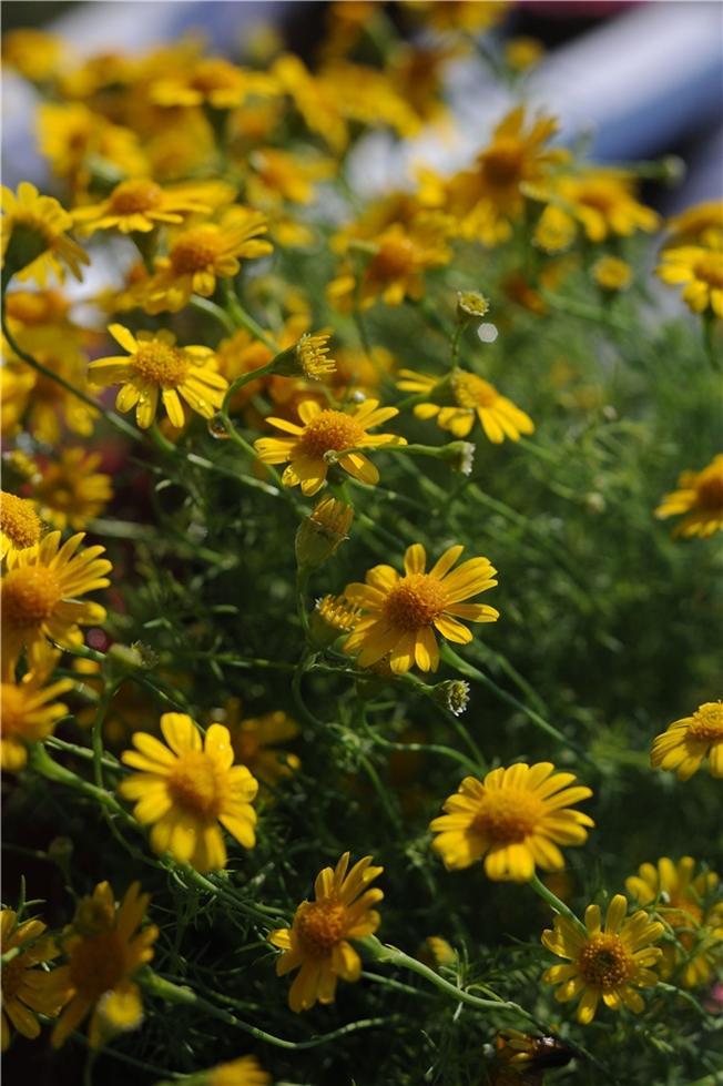 Những con đường ngập sắc vàng hoa dã quỳ
