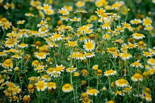 Tại đây cải cúc dùng lấy hạt chính vì thế chúng được trồng với số lượng lớn và nở tự do, tạo thành khung cảnh tuyệt đẹp