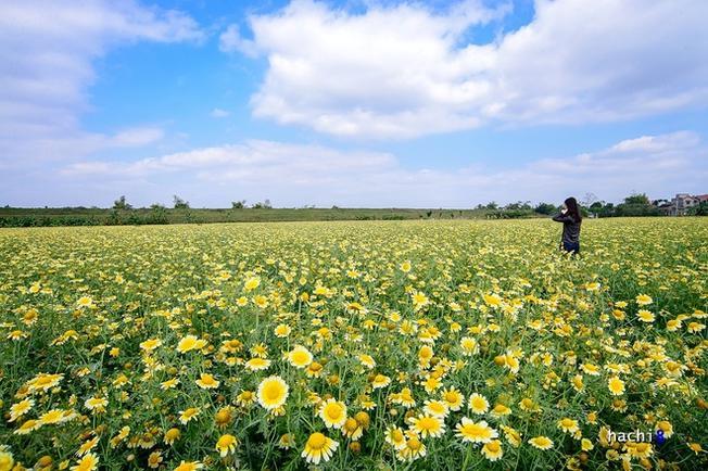 Chỉ cách trung tâm thủ đô Hà Nội chừng 8 km, cứ đến độ cuối đông là những cánh đồng cải cúc tại vùng ngoại ô lại nở hoa rực rỡ