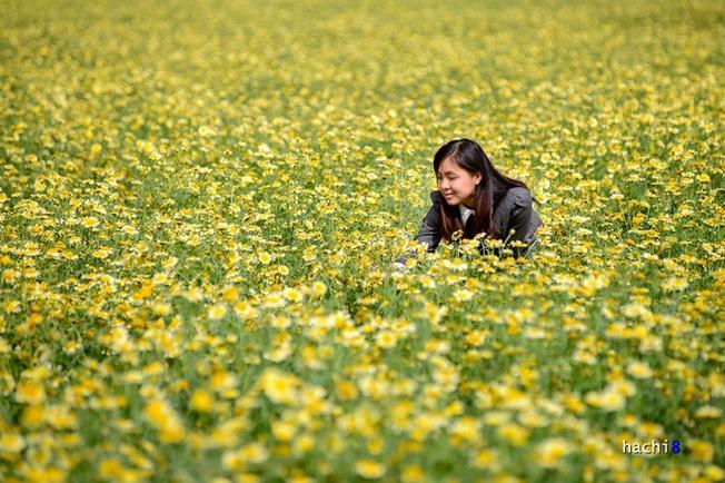 Cánh đồng hoa cải cúc bạt ngàn làm đắm say lòng người Hoa nở ngay bên những tuyến đường làng khiến khung cảnh thơ mộng đến ngỡ ngàng