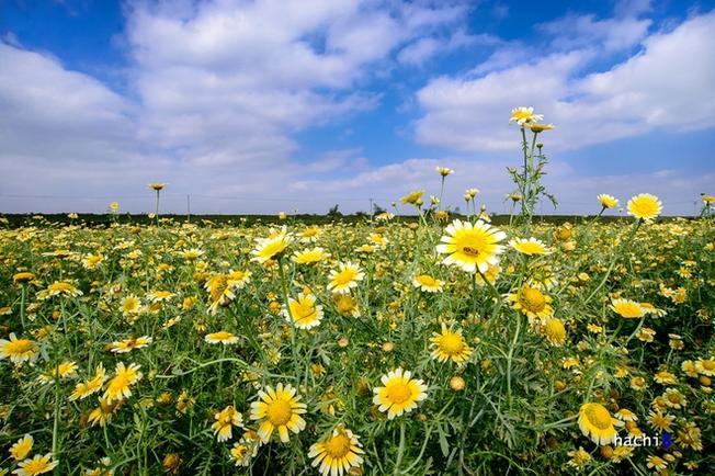 Hoa cải cúc nở rất nhiều tại cánh đồng Kim Sơn và Lệ Chi. Bạn có thể đi theo lối vào chùa Sen Hồ hoặc từ đường đê sông Đuống đến đình thôn Chi Đông thì rẽ phải xuống