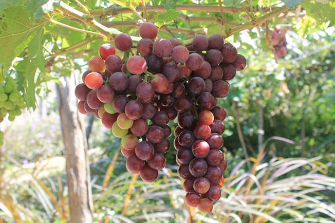 Những trái nho chín mọng cho ra đời những sản phẩm rượu vang nho thơm nồng