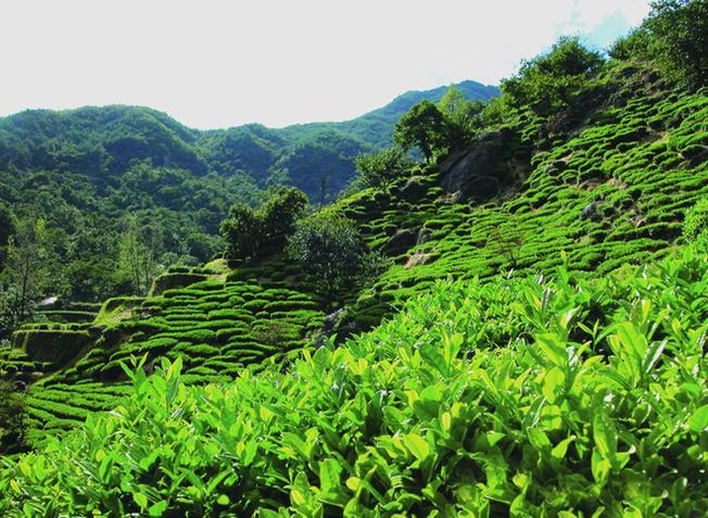 Hadong còn được biết đến như một thủ phủ của cây chè