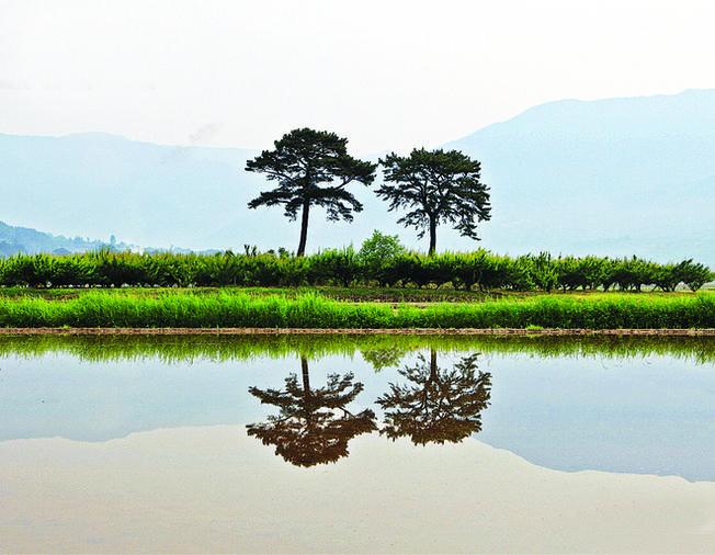 Hai cây thông Phu thê mọc hàng trăm năm