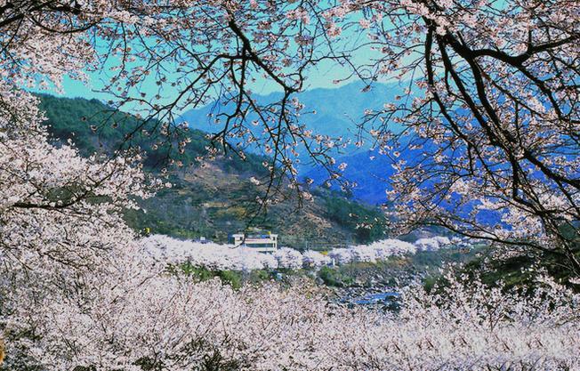 Hadong còn nổi tiếng bởi con đường hoa anh đào