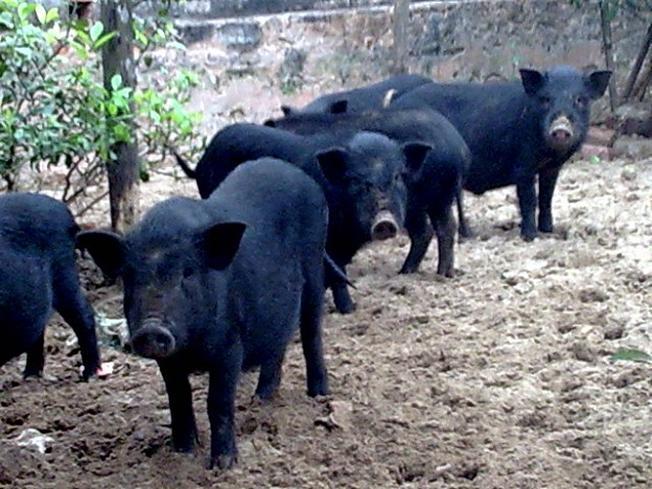 Lợn cắp nách, giống lợn được nuôi thả đặc biệt