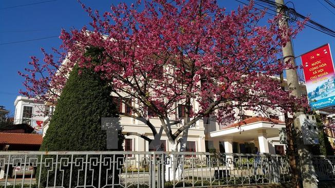 Hoa anh đào khoe sắc thắm tại Sa Pa